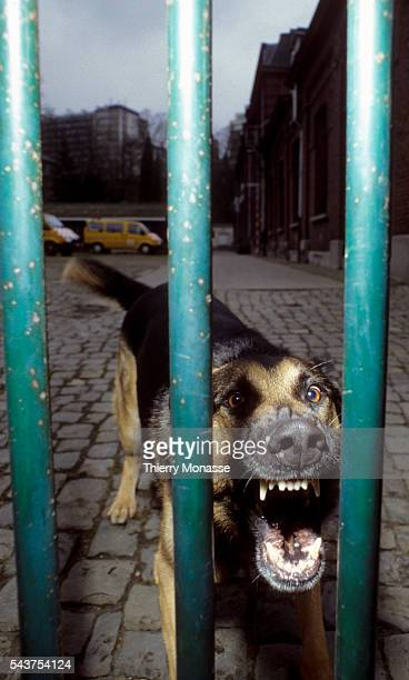 An angry barking german shepherd guard dog is leaping against the house's security gate