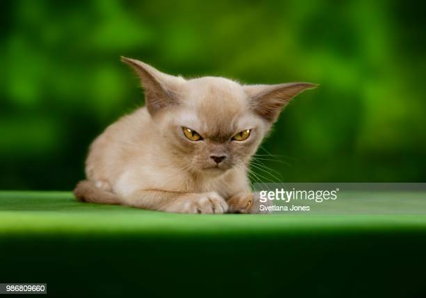 an angry cat. - burmese cat stock pictures, royalty-free photos & images