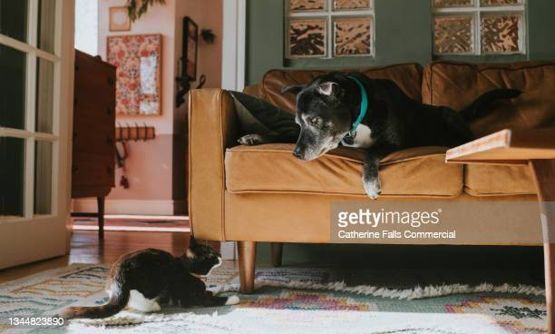 an angry dog lunges towards a terrified young cat who adopts a defensive stance before making her escape - animal behaviour stock pictures, royalty-free photos & images