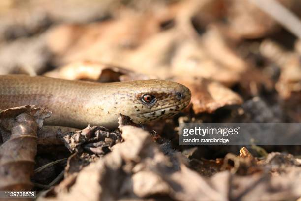 an anguis fragilis, or slow worm warming up on the ground in the sun before going hunting. - orvet photos et images de collection