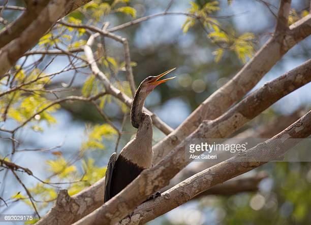 an anhinga, anhinga anhinga, calling out near the amazon river, brazil. - alex saberi fotografías e imágenes de stock