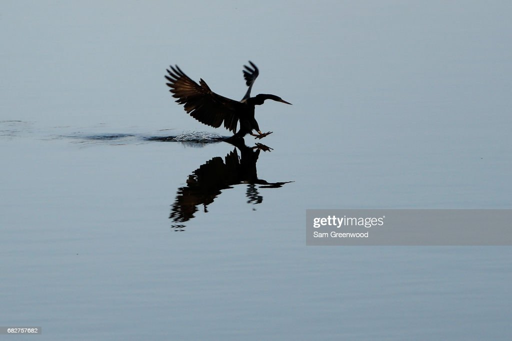 An anhinga lands in the water during the third round of THE PLAYERS Championship at the Stadium course at TPC Sawgrass on May 13, 2017 in Ponte Vedra Beach, Florida.