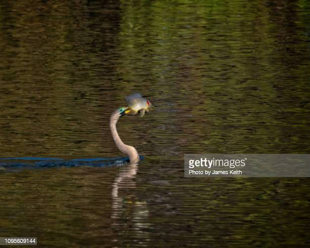 an anhinga spears a sunfish for its next meal. - sunfish stock pictures, royalty-free photos & images
