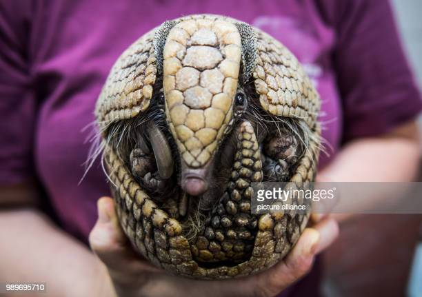 An animal carer holds Aamadillo 'Norman' in her hands during inventory at the Allwetterzoo in Muenster Germany 5 January 2018 The annual inventory at...