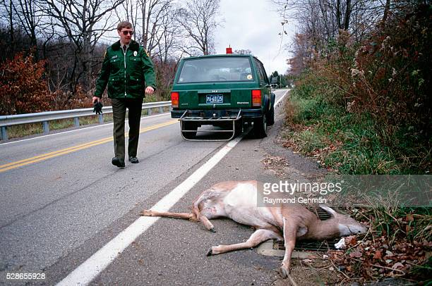 An animal control officer walks over to a dead whitetailed deer on the side of a road Pennsylvania