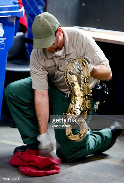 An animal control officer with LA City Animal Services removes a 34foot snake believed to be some type of python found in a small suitcase at the...
