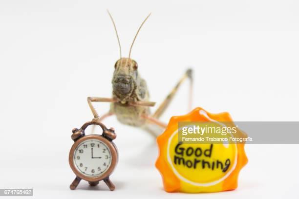 An animal insect grasshopper good morning at 3 o'clock