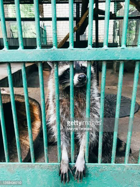 an animal raccoon peeps out from behind a green cage. - greenpeace stock pictures, royalty-free photos & images
