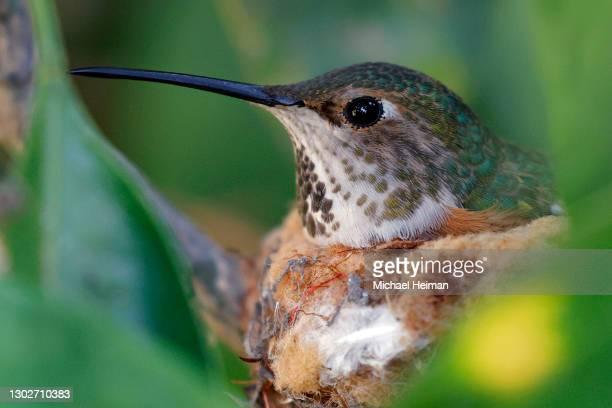 An Anna's hummingbird sits in it's nest on February 16, 2021 in Huntington Beach, California.
