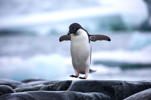 An antarctic Adelie penguin jumping between the rocks 939133858