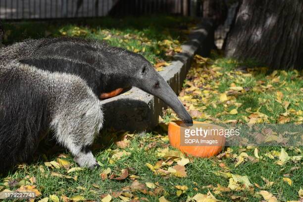An anteater eats pap inside of a pumpkin in his enclosure at Madrid zoo. The pumpkins with fruit and nuts have been left as a special treat for...