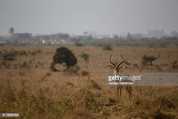 An antelope looks on at Nairobi National Park ahead of IAAF U18 World Championships on July 11 2017 in Nairobi Kenya
