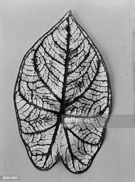 An Anthurium leaf circa 1955