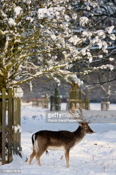An antlered stag in Bushy Park near Hampton Court Palace during the largest snowfall in London in eighteen years on 2nd February 2009.