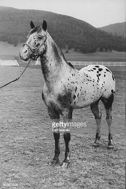 An Appaloosa horse raised on a ranch