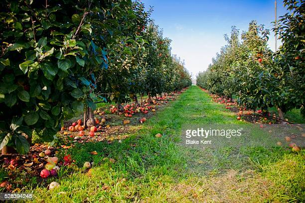 An Apple Orchard In The Pacific Northwest; Everson, Washington, United States Of America
