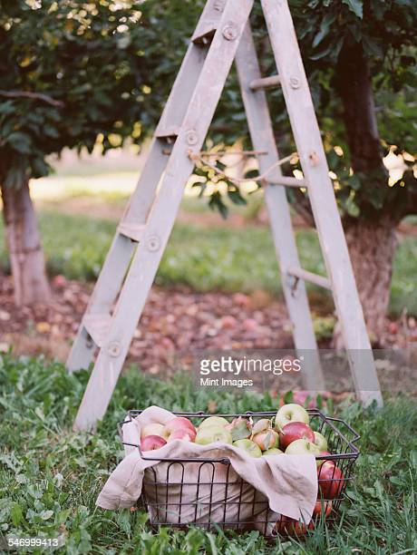 An apple orchard in Utah. A basket of apples standing by a ladder.