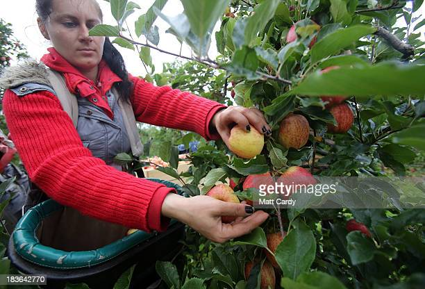 An apple picker gathers Gala apples in an orchard at Stocks Farm in Suckley near Worcester on October 8 2013 in Worcestershire England According to...
