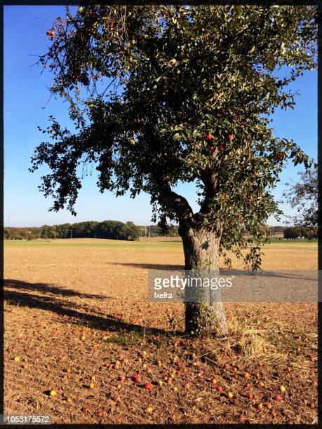 An apple tree, fallen apples on the ground.
