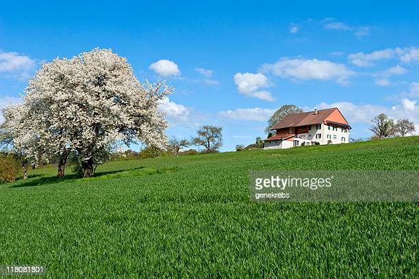An apple tree in full bloom on a sunny day