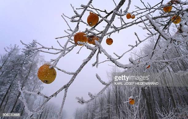 An apple tree is covered in frost near Esselbach in the Spessart region southern Germany on January 22 2016 / AFP / dpa / KarlJosef Hildenbrand /...