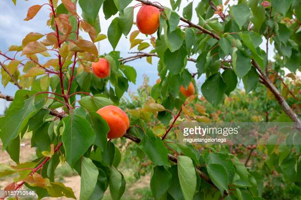 an apricot tree full of fruits - unripe stock pictures, royalty-free photos & images