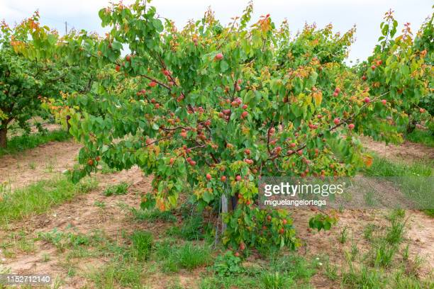 an apricot tree full of fruits - peach tree stock pictures, royalty-free photos & images