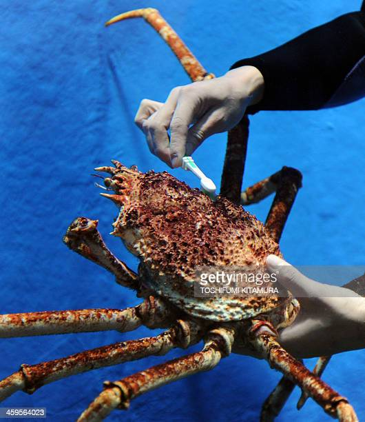 An aquarium diver brushes the shell of a Japanese spider crab during the yearend cleaning operation at the Epson Shinagawa Aqua Stadium in Tokyo on...