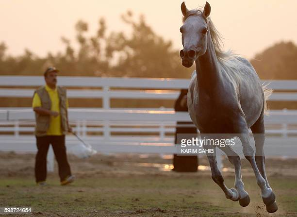 An Arabian horse gallops at the Sharjah Equestrian and Racing Club in Sharjah United Arab Emirates on September 2 2016 / AFP / KARIM SAHIB