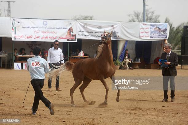 An Arabian horse is seen with it's owner during the Arabian horses beauty contest in Jericho West Bank on March 25 2016 100 Arabian horses brought...