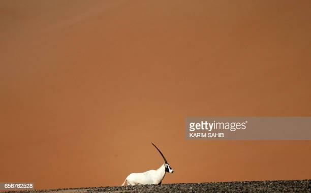 An Arabian Oryx is seen at the Arabian Oryx Sanctuary in Um al-Zamool, near the United Arab Emirates' border with Saudi Arabia on March 23, 2017. The...
