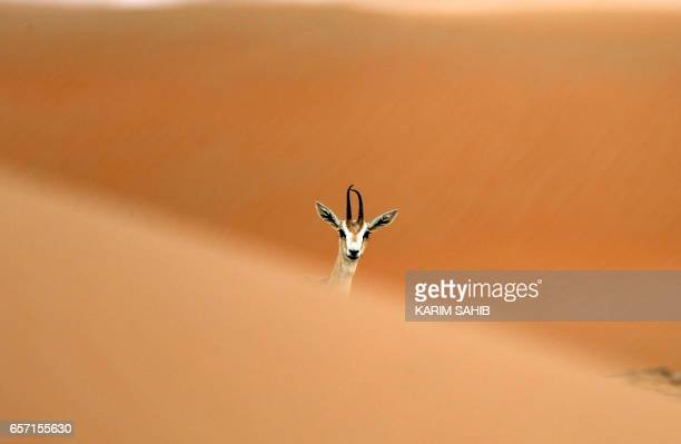 An Arabian Oryx is seen at the Arabian Oryx Sanctuary in Um alZamool near the United Arab Emirates' border with Saudi Arabia on March 24 2017 The...