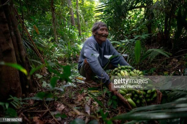 An Arara indigenous man collects bananas near the Laranjal tribal camp, in Arara indigenous land, Para state, in the northern Brazilian Amazon...