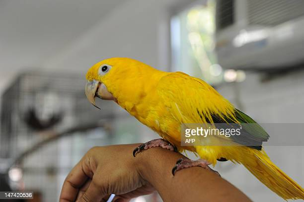 An Ararajuba baby parrot is presented at the zoo in Rio de Janeiro Brazil on June 29 2012 Rio's zoo on Saturday will open an animal nursery to treat...