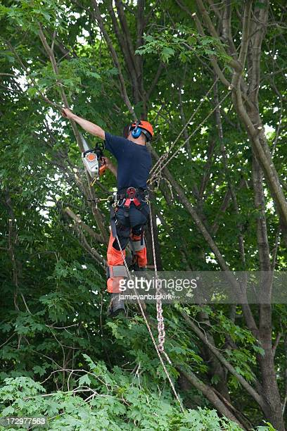 An arborist in full gear, strapped in and sawing a branch