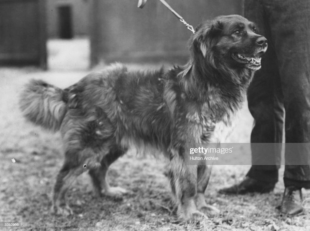 Sir Ernest Shackleton Dogs
