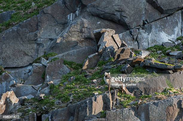 An Arctic fox is patrolling for eggs and chicks under the nests of the Thickbilled murres or Brünnich's guillemot at the Alkefjellet bird cliff at...