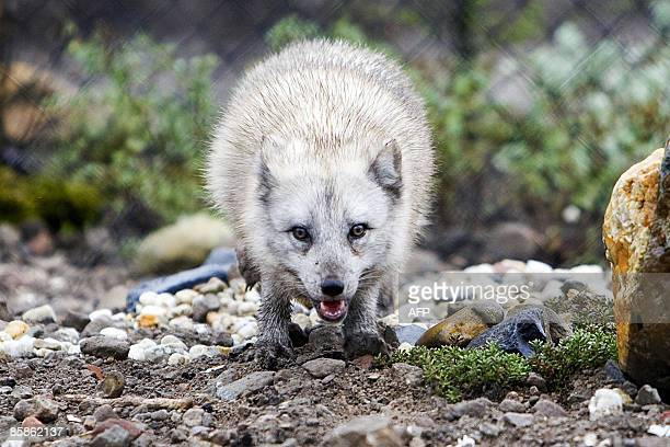 An arctic fox is released into its new residence in Rotterdam Zoo on April 8 2009 The Dutch Zoo organisation is starting a new campaign in an attempt...
