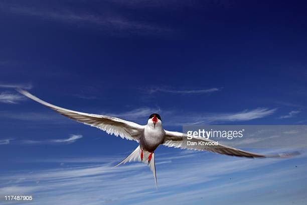 An Arctic Tern dives down to protect its nest on June 24 2011 on Inner Farne England The Farne Islands which are run by the National Trust are...