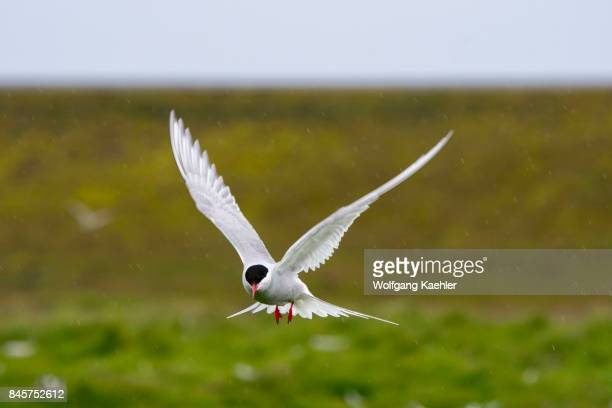 An Arctic Tern is hovering over the nesting colony at the Jökulsárlón in southeast Iceland on the edge of Vatnajökull National Park