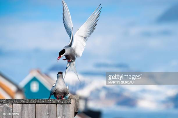 An Arctic Tern lands on a fence by the scientific base at NyAlesund on June 5 2010 AFP PHOTO / MARTIN BUREAU