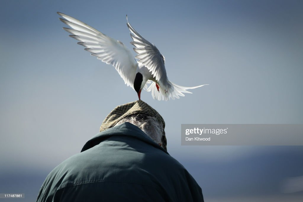 An Arctic Tern pecks a mans head as he walks through nesting seabirds on June 25, 2011 on Inner Farne, England. Visitors to the Farne Islands are pre-warned and advised to wear hats to protect themselves from the Terns who will dive down and attack anyone they perceive as a threat to their nest. The Farne Islands, which are run by the National Trust, are situated two to three miles off the Northumberland coastline. The archipeligo of 16-28 separate islands (depending on the tide) make the summer home to approximately 100,000 pairs of breeding seabirds including around 36,000 Puffins, 32,000 Guillemots and 2,000 pairs of Arctic Terns. The species of birds which nest in internationally important numbers include Shag, Sandwich Tern and Arctic Tern. The coastline around The Farnes are also the breeding ground to one of Europe's largest Grey Seal colonies with around 4,000 adults giving birth to 1500 pups every year.