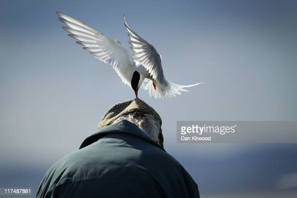 An Arctic Tern pecks a mans head as he walks through nesting seabirds on June 25 2011 on Inner Farne England Visitors to the Farne Islands are...