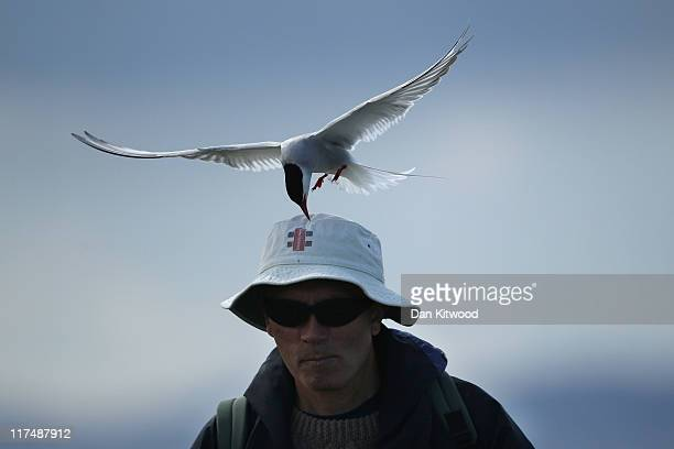 An Arctic Tern pecks a mans head as he walks through nesting seabirds on June 24 2011 on Inner Farne England Visitors to the Farne Islands are...