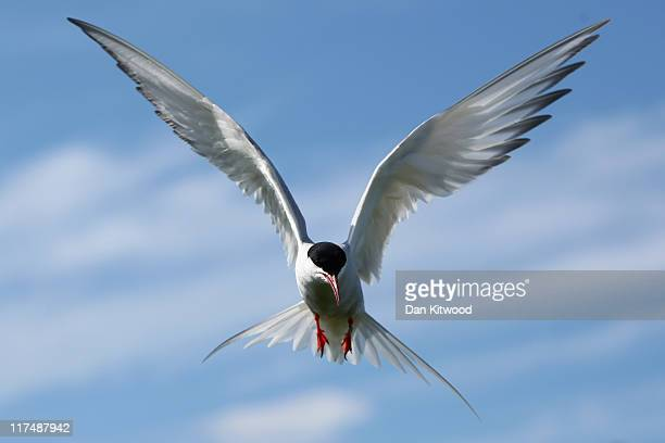 An Arctic Tern returns to it's nest on June 24 2011 on Inner Farne England The Farne Islands which are run by the National Trust are situated two to...