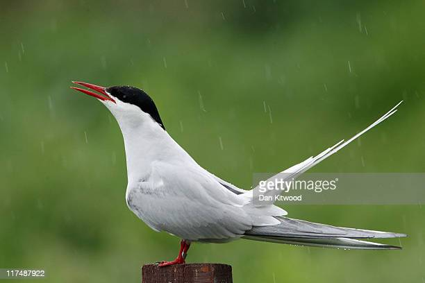 An Arctic Tern sits in ther rain on June 24 2011 on Inner Farne England The Farne Islands which are run by the National Trust are situated two to...
