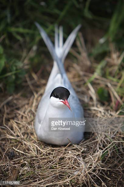 An Arctic Tern sits on it's nest on June 24 2011 on Inner Farne England The Farne Islands which are run by the National Trust are situated two to...