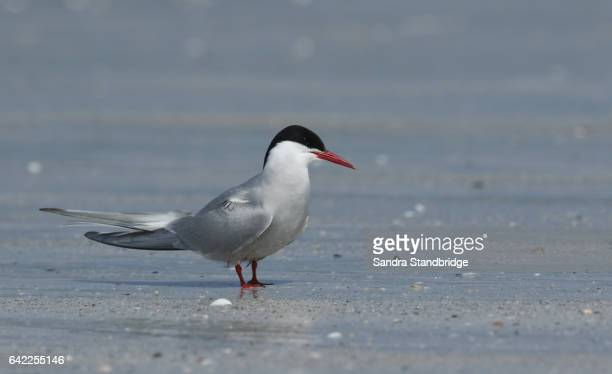 An Arctic Tern (Sterna paradisaea) standing on a beach in North Uist, Scotland.