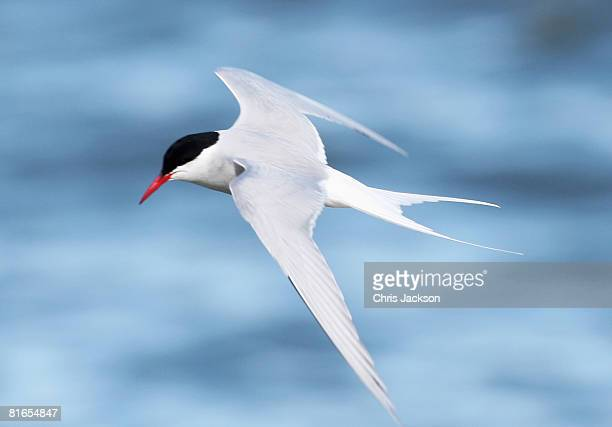 An Arctic Tern swoops above the harbour of Longyearbyen during Midsummer on June 21 2008 in Longyearbyen Norway Longyearbyen is the seat of Norwegian...