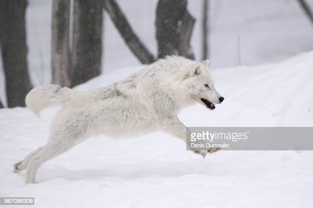 an arctic wolf running in the snow. - loup blanc photos et images de collection